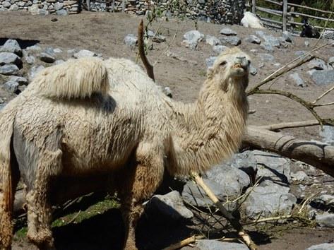 Mongolisches Trampeltier